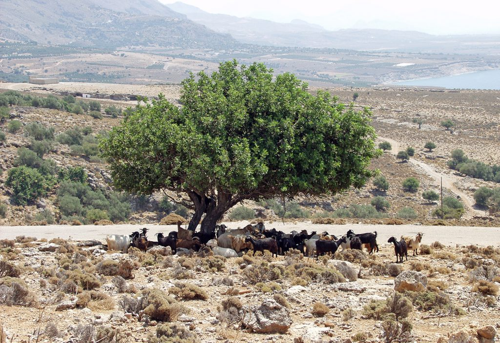 Goats under Tree