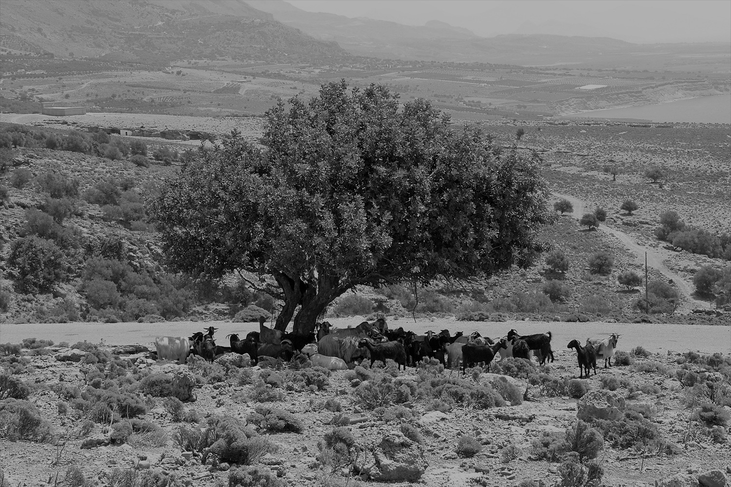 Black and white image of goats under a tree