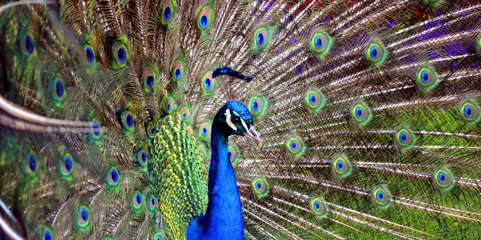 close up of a peacock