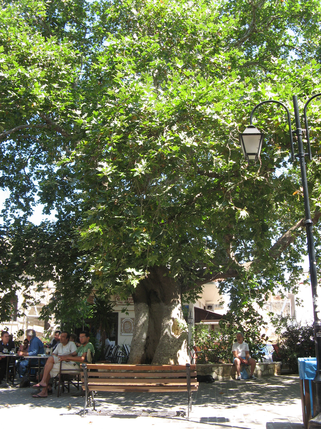Old tree at splangia